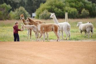 Monty meets the alpacas